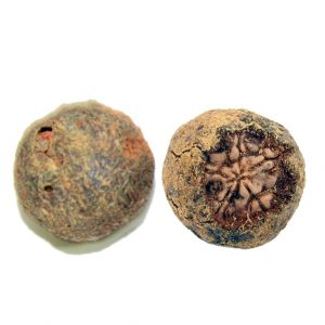Rudraksha Fruit of Nepal